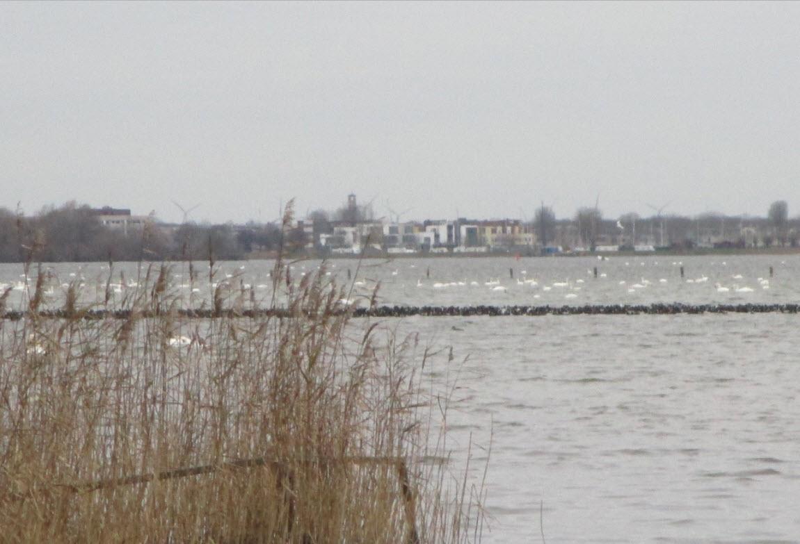 Dode zwanen Wolderwijd Strandeiland Harderwijk