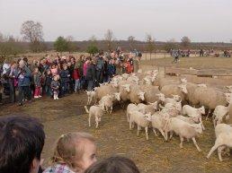Lammetjesdag bij de Ermelose schaapskooi