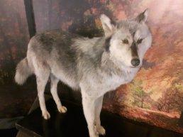 Knutselen met wolven
