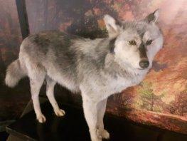 Kleuterrondleiding WOLF én Kleine diersporenwandeling