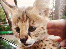 Aangelijnde luipaard in Harderwijk?