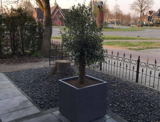 Oproep: Wie weet iets van de diefstal van een olijfboom t.w.v. € 250?